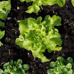 Hoe moet de grond zijn voor het kweken van groenten